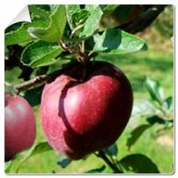 Where and when to plant an apple tree