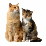 How to clean cat urine?
