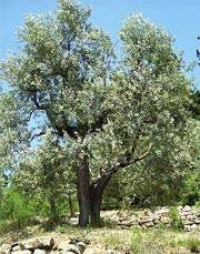 When to plant an olive tree
